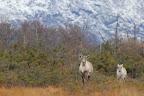 BALADE FAMILIALE Caribous dans le Parc national du Gros Morne, à Terre Neuve