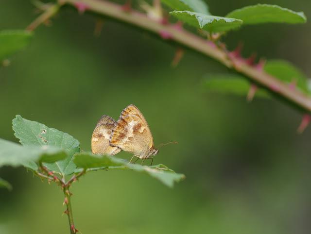 Accouplement de Pyronia tithonus (L., 1771) ; femelle à droite. Chemin de La Rodé, Cocurès, 680 m (Lozère), 6 août 2013. Photo : J.-M. Gayman