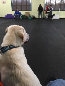 A white Labrador retriever sits while waiting for training to begin