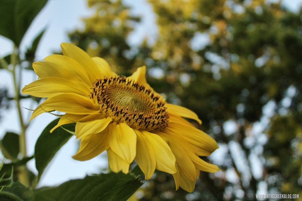 [sunflower2%5B15%5D]