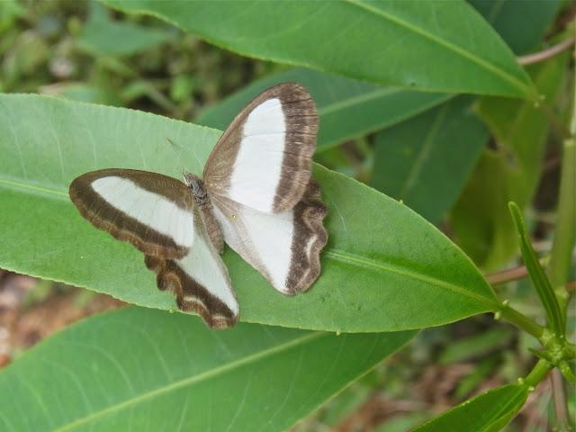 Oressinoma typhla typhla E. Doubleday, [1849]. Bosque Bavaria (Villavicencio, Meta, Colombie), 9 novembre 2015. Photo : C. Thoumyre