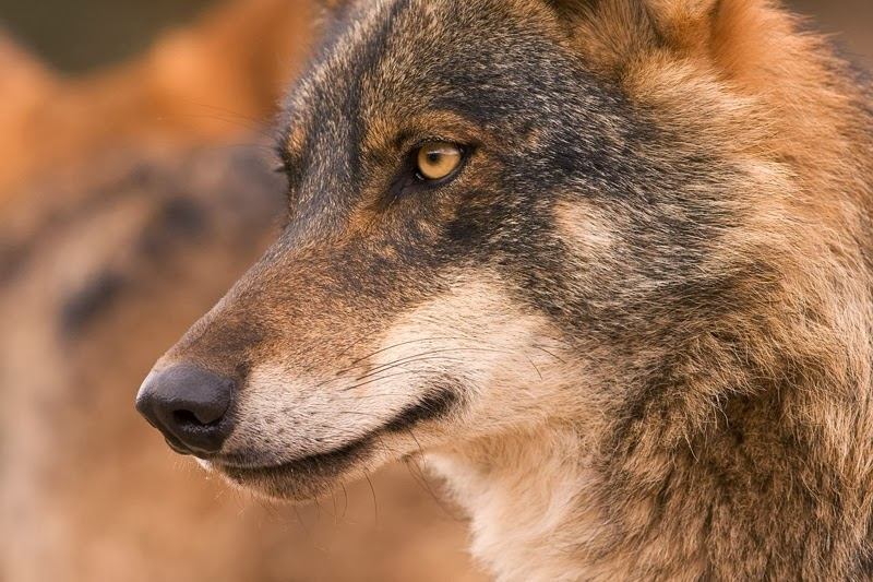 El Lobo Ibérico En Bruselas Ecologistas En Acción