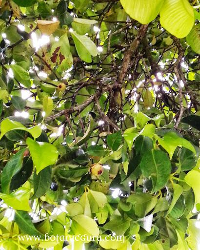Garcinia mangostana, Mangosteen fruit