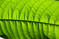 Light shining through a leaf | photo © HughStLawrence