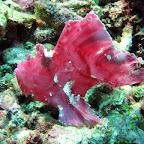 Pink frogfish (Menjangan, North Bali)