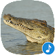Appp.io - Alligator Sounds