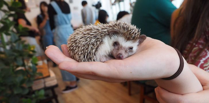 In Tokyo, Japan, there is a hedgehog cafe.