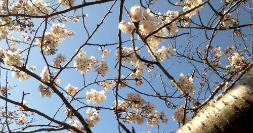 佐鳴湖畔の桜