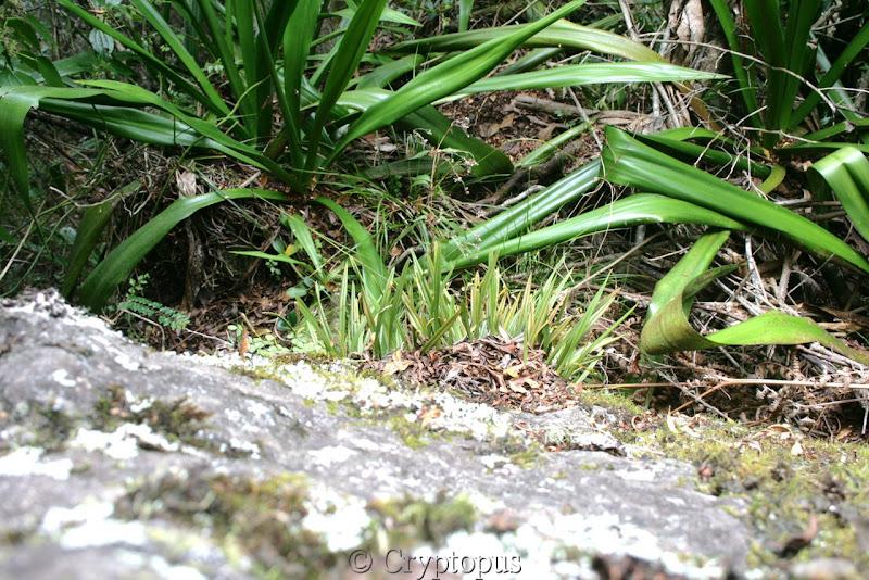 Orchidées in situ, sur l'ile de la Réunion IMG_2092