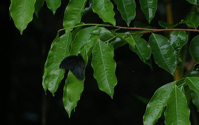 Papilio memnon agenor LINNAEUS, 1758, mâle se protégeant de la pluie. Jinghong (Xichuangbanna, Yunnan), 28 août 2010. Photo : J.-M. Gayman