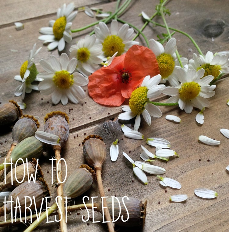 how to harvest seeds