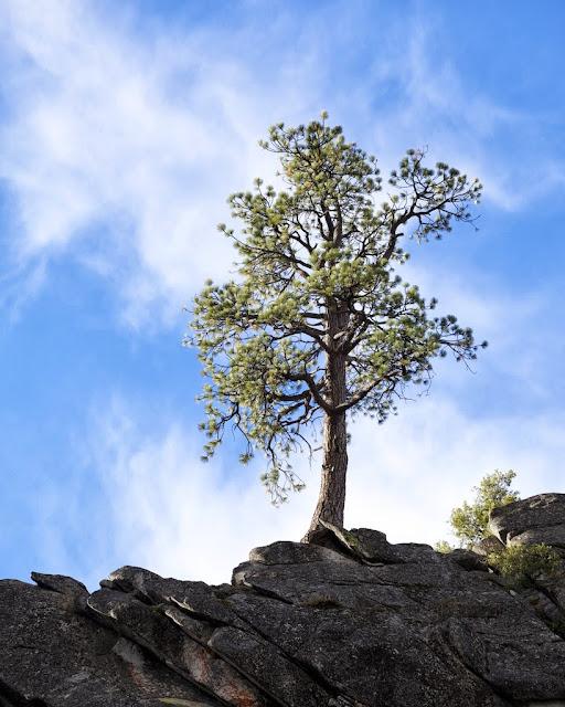 Jeffery Pine