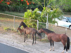 The wonders of Vieques - In front of Casa de Kathy  passes a family with a tiny baby horse.