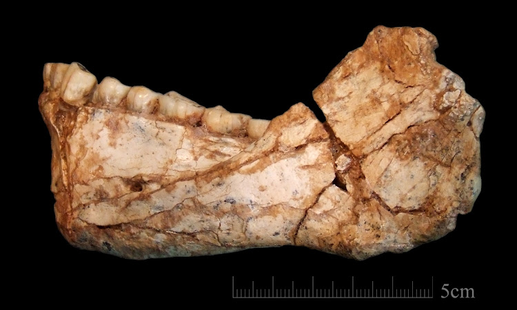 The adult mandible discovered in Morocco. Picture: MAX PLANCK INSTITUTE FOR EVOLUTIONARY ANTHROPOLOGY