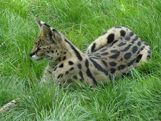 2016.07.31-052 serval