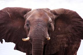 Male Elephant, Botswana