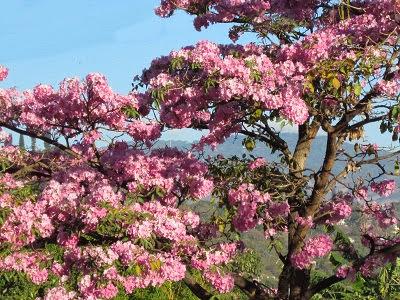 Maquilishuat, árbol nacional de El Salvador