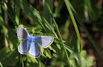 Plyommatus eros.jpg