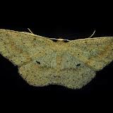 Geometridae : Sterrhinae : Anisodes obstataria WALKER, 1861. Umina Beach (NSW, Australie), 3 novembre 2011. Photo : Barbara Kedzierski