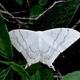 Saturniidae : Oxyteninae : Asthenidia (Therinia) lactucina (CRAMER, 1780), femelle. Colider (Mato Grosso, Brésil), 29 juin 2010. Photo : Cidinha Rissi