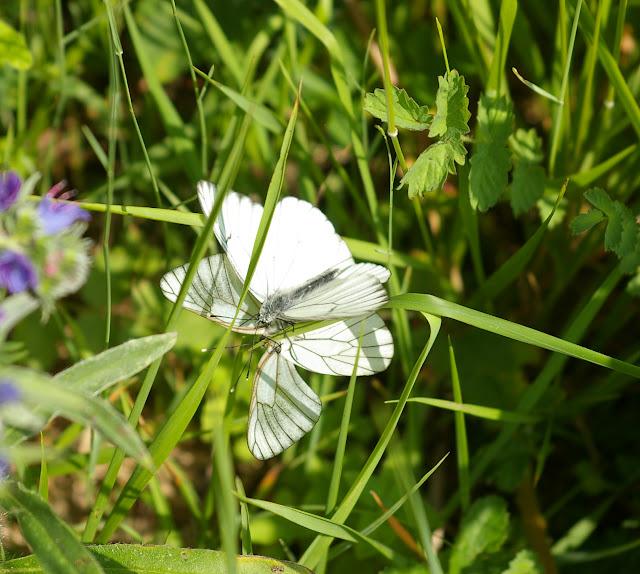 Aporia crataegi LINNAEUS, 1758. Combe de l'Air, Forêt de Châtillon (Côte-d'or), juin 2006. Photo : J.-M. Gayman