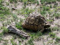 Leopard Tortoise - Linyanti Concession (Chobe Region)