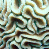 Brain Coral. St Thomas Snorkeling.
