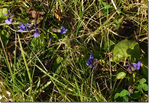 3 violets on towpath