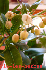 fleurs d'arbousier.jpg