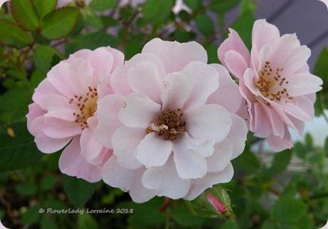 02-10-carpet-roses2