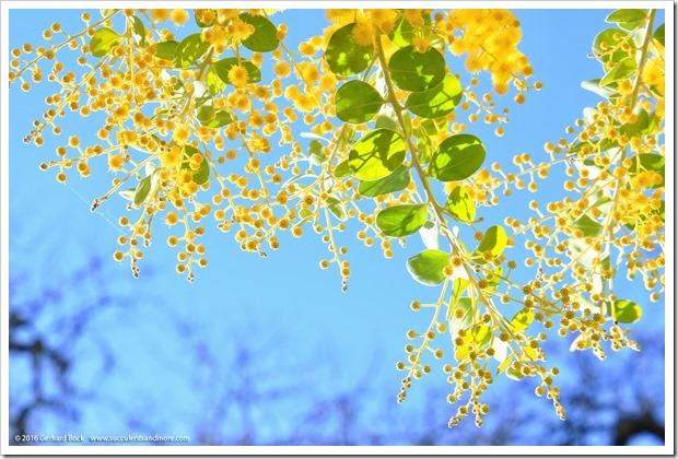 160215_UCDA_AcaciaGrove_Acacia-podalyriifolia_019