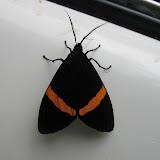Arctiidae : Pericopinae : Sagaropsis horae DRUCE, 1885. Au nord de Coroico (1000 m). Bolivie, 14 janvier 2004. Photo : H. Bloch