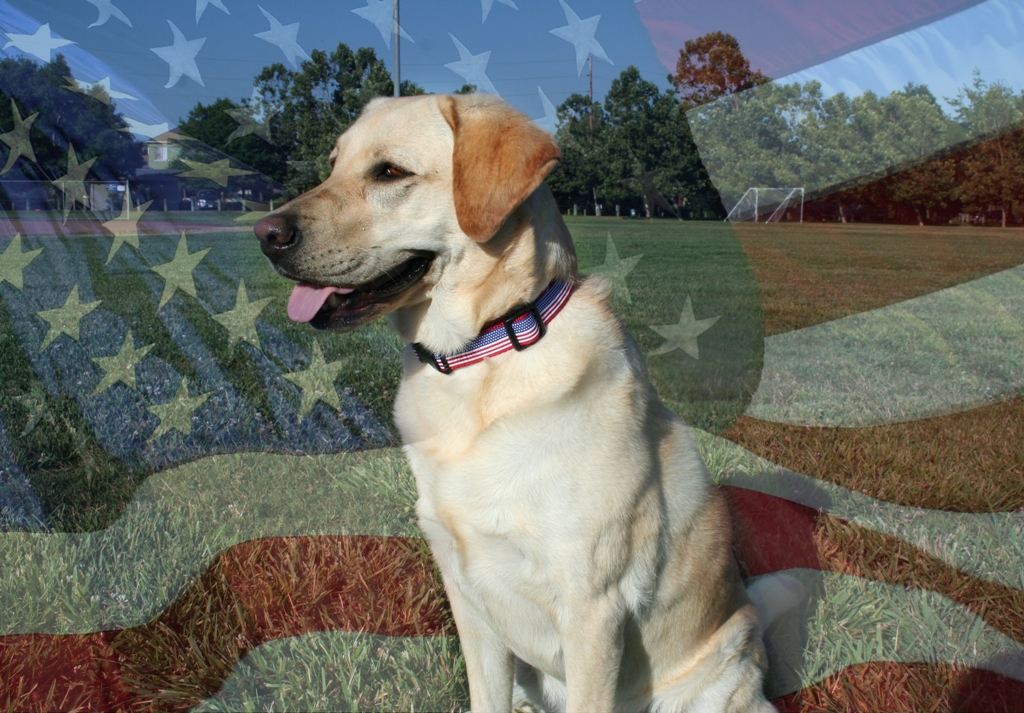 cabana sitting on grassy field, wearing an american flag collar, image of an american flag is superimposed over the photo