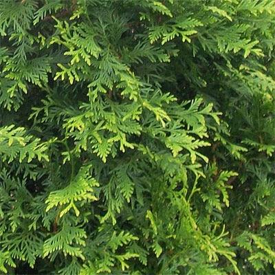 FraserValleyCedars-GreenGiantFoliage3