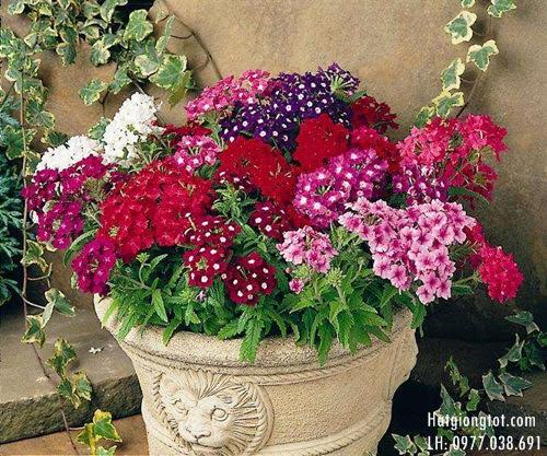 Bán hạt giống hoa cỏ roi ngựa
