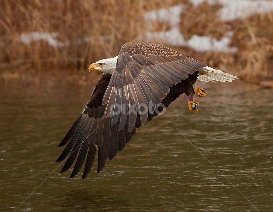 by Herb Houghton - Animals Birds ( eagle, bird of prey, bald eagle, fantastic wildlife, raptor, fishing )