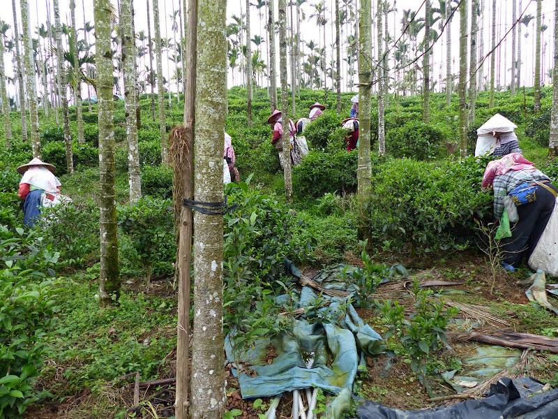 Puli, Nantou county, cueillette de thé - P1050539.JPG