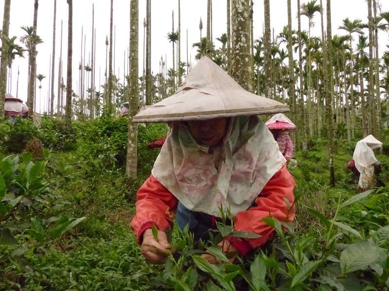 Puli, Nantou county, cueillette de thé - P1050548.JPG