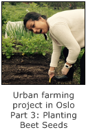 urban farming project in oslo - part 3 planting red beet seeds