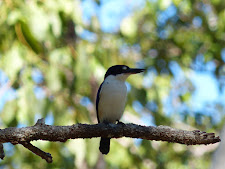 Forest Kingfisher, Carmor Plains