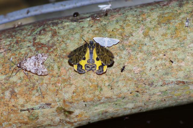 Geometridae : Ennominae : Pantherodes pardalaria (HÜBNER, 1823). Los Cedros, 1400 m, Montagnes de Toisan, Cordillère de La Plata (Imbabura, Équateur), 18 novembre 2013. Photo : J.-M. Gayman