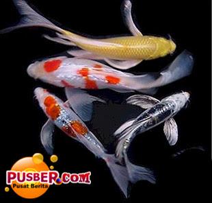 Cara Beternak atau Budidaya Ikan Koi - pusber.com