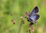 Sortplettet blåfugl, Maculinea arion f. obscura2.jpg