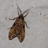 Arctiidae : Eucereon sp. Los Cedros, 1400 m, Montagnes de Toisan, Cordillère de La Plata (Imbabura, Équateur), 18 novembre 2013. Photo : J.-M. Gayman