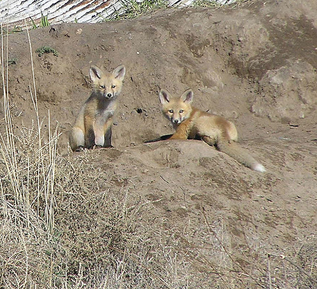 Baby foxes at den