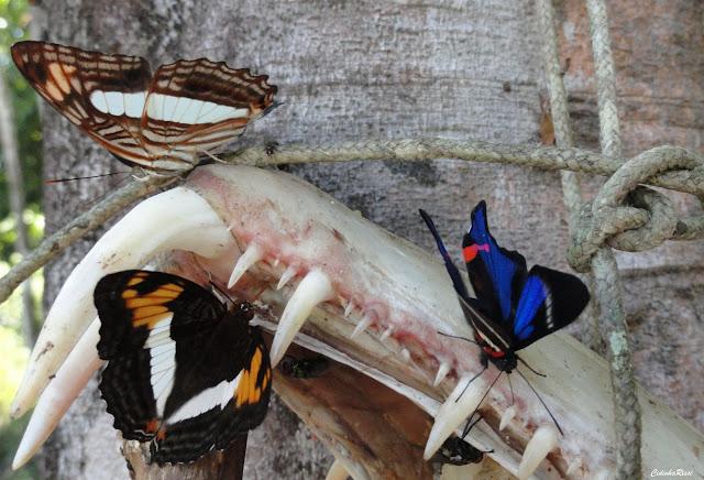 Adelpha capucinus capucinus (WALCH, 1775) et Rhetus periander (CRAMER, 1777), mâle. À proximité du Rio Teles Pires, município de Nova Canaã do Norte (Mato Grosso, Brésil), 11 juin 2011. Photo : Cidinha Rissi