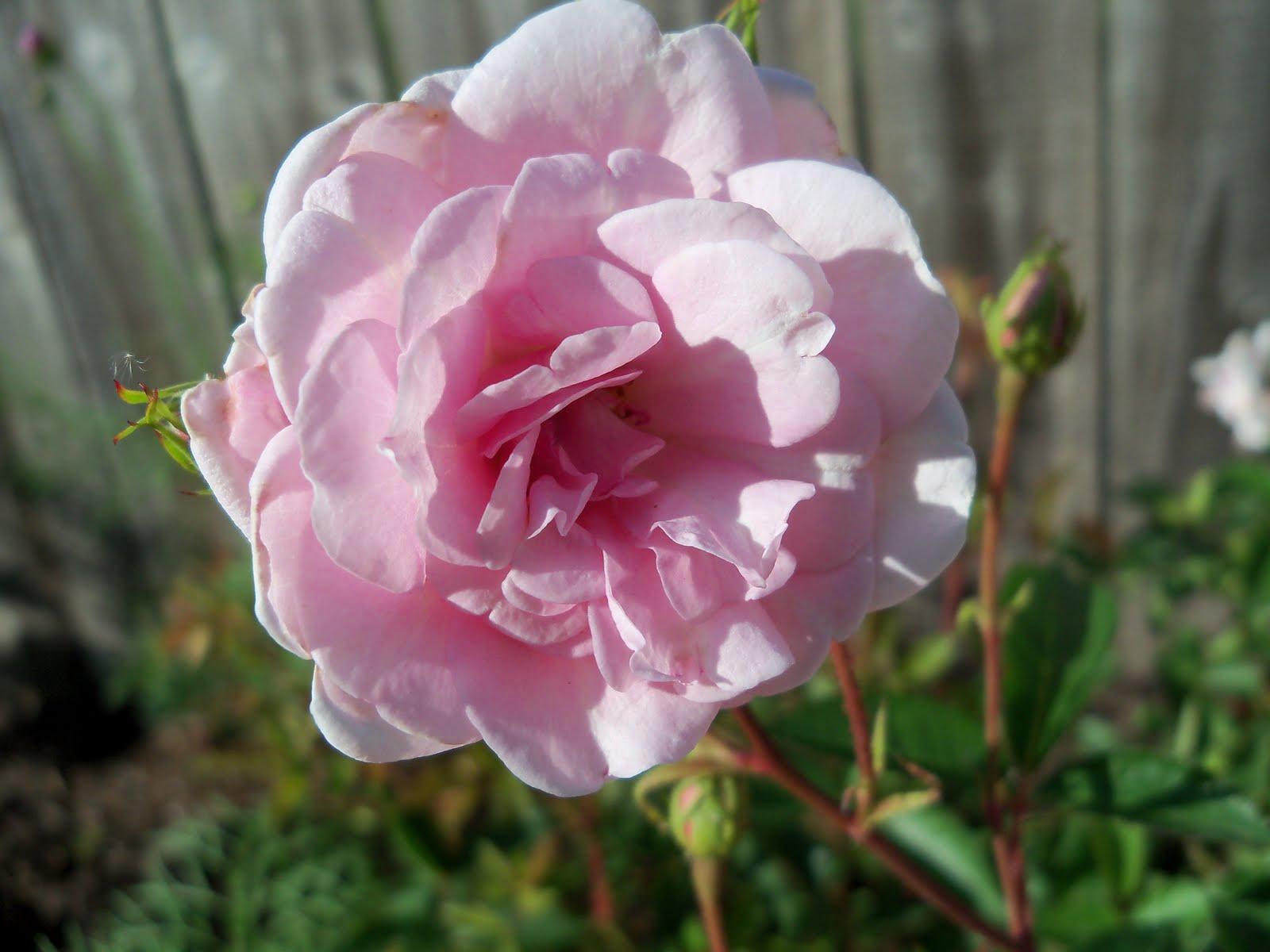 Gardening 2010 - 101_1485.JPG