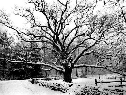 Bedford Oak, New York City.jpg