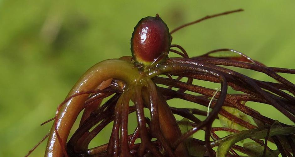 Роголистник светло-зеленый (Ceratophyllum submersum)