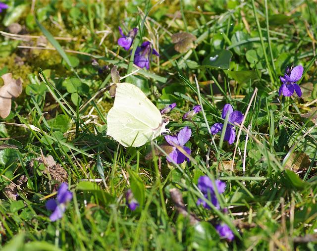 Gonopteryx rhamni L., 1758, mâle. Les Hautes-Lisières (Rouvres, 28), 16 mars 2012. Photo : J.-M. Gayman
